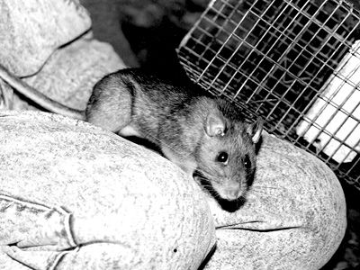 Male Allegheny woodrat posing on author's lap