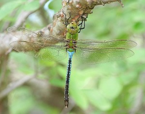common green darner resting by Ken Slade