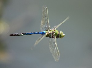 Common green darner by Ken Slade (TexasEagle on Flickr)