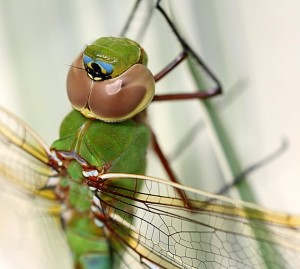 green darner close-up by Linda Rae Duchaine