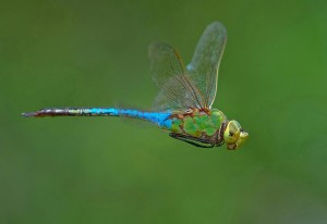 green darner in flight by Jim McCulloch