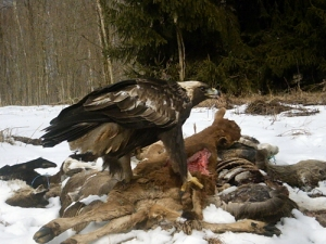 golden eagle on bait