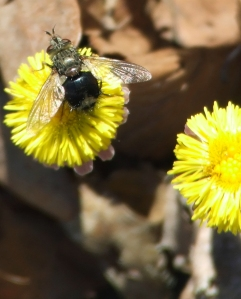 bee-fly on an early coltsfoot blossom