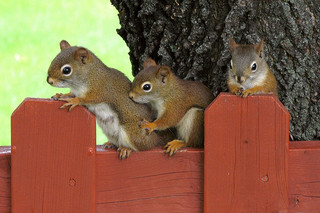 mother red squirrel with two of her young