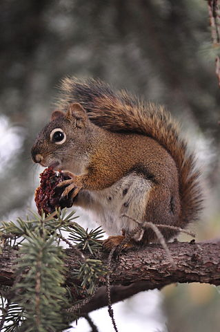 American red squirrel eating a nut