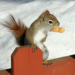 American red squirrel in winter with peanut