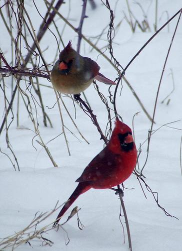 cardinal pair in a snowstorm