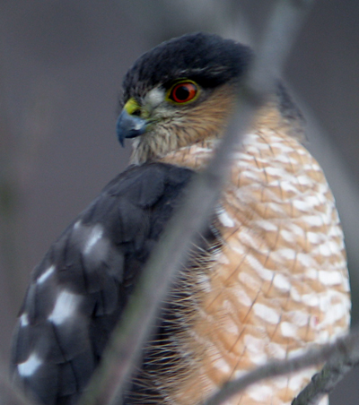 sharp-shinned hawk at feeder