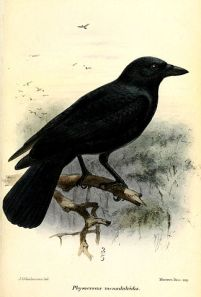 New Caledonian Crow painting by John Gerrard Keulemans