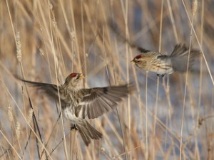 common redpolls in flight