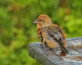 red crossbill in the rain