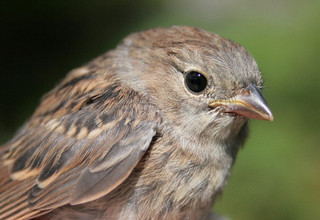 Field sparrow fledgling by Seabrooke Leckie