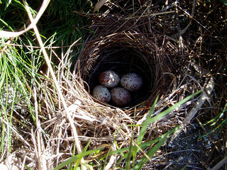 field sparrow nest by Mike Allen