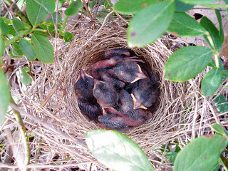 Field sparrow nestlings - about 4 or 5 days old