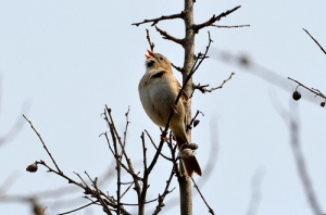 Field sparrow singing by Dave Govoni