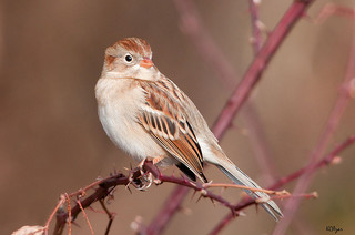 field sparrow by Kelly Colgan Azar