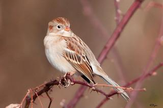 field sparrow by Kelly Colgan Azar