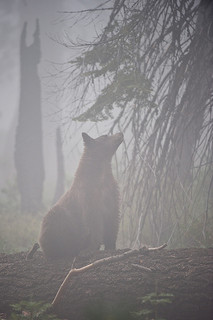 Black bear enjoying a foggy day by Howard Ignatius