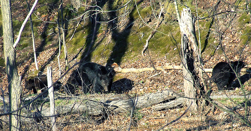 Black bear mother with cubs in Plummer's Hollow