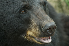 Ursus americanus close up