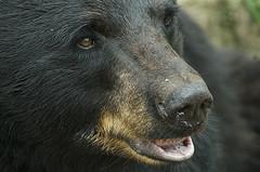 Ursus americanus close up