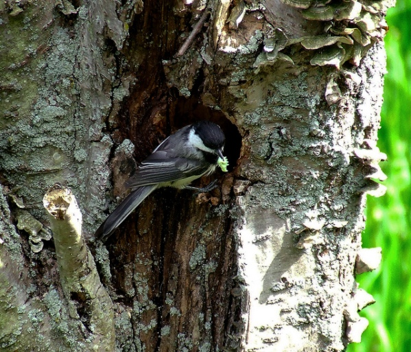 One of the chickadee parents at the nest hole in the cherry snag
