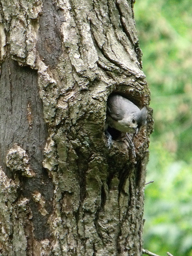 tufted titmouse at nest hole by The Natural Capital on Flicker