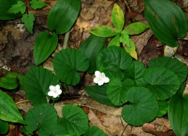Dalibarda (dewdrops) in bloom along Green Srpings Trail (photo: Bruce Bonta)