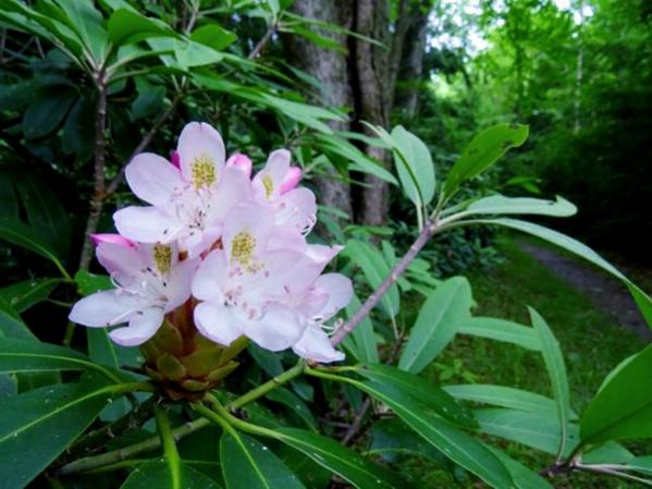 Rhododendron along Green Springs Trail (photo: Stan Kotala)