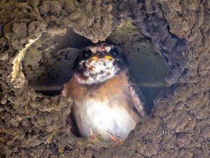 Cliff swallow chick by  Richard Griffin