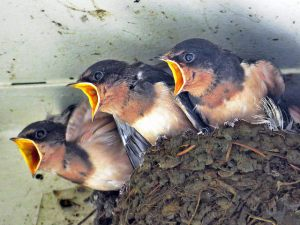 Cliff swallow chicks by Richard Griffin