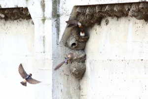 Cliff swallow colony by  Don McCullough