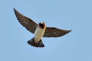 Cliff swallow in flight by Don DeBold
