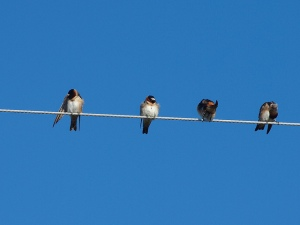Cliff swallows on wire by Lostinfog