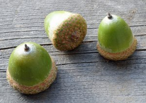 northern red oak (Quercus rubra) acorns by free photos & art