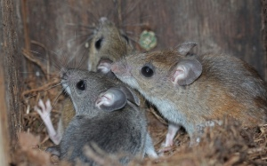 White-footed mice in an old bluebird box by Mark Lethaby