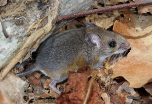 White-footed mouse by Patrick Coin
