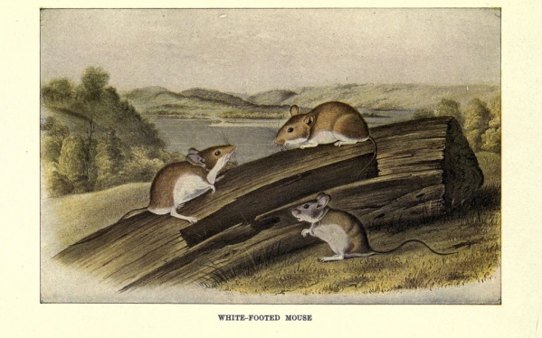 White-footed mouse from Squirrels and Other Fur-Bearers