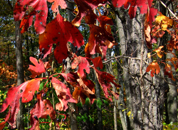 Sassafras on SGL #108 (seen on the October tour)