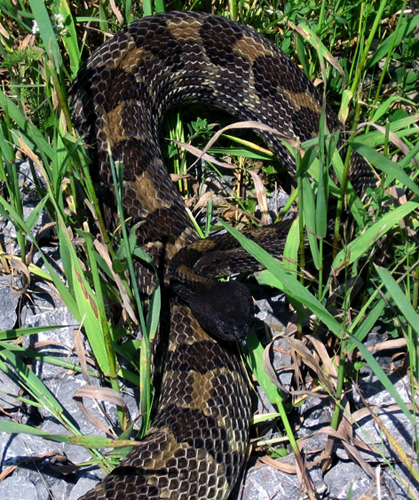 timber rattlesnake coiled to strike
