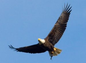 Bald eagle with fish by Ron Holmes-USFWS