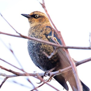 Rusty blackbird by Nicole Beaulac
