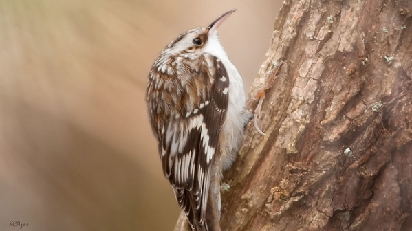 Brown Creeper by Kelly Colgan Azar
