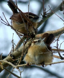 Carolina Wrens by Dave Bonta