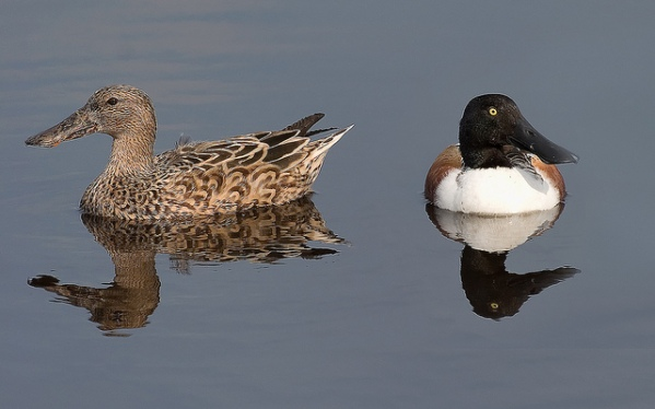 Female and male northern shoveler by Matthew Paulson