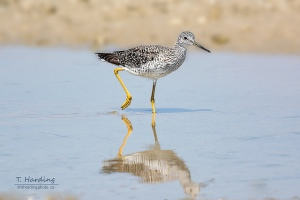Greater yellowlegs by Tim Harding
