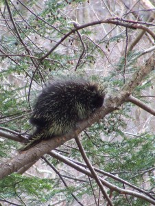 A porcupine in one of the hemlock trees down in the hollow