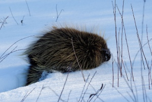 A young porcupine in deep snow by Martin Male