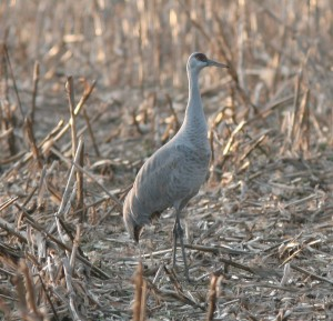 Sandhill Crane at Middle Creek WMA, eastern PA