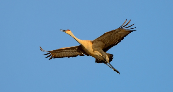 Sandhill Crane over SGL #284 by Dave Inman